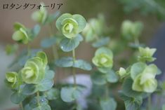 little flowers: オレガノ・ロタンダフォーリア