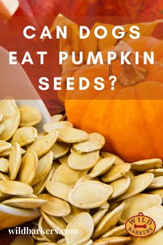 Yes, dogs can eat pumpkin seeds (or pepitas), and they are highly beneficial for your dog. Pumpkin is a superfood for your dog. Before you give your dog pumpkin seeds, make sure that they are prepared. We recommend peeling and roasting your seeds. Pumpkin seeds go moldy quickly when raw. Can my dog eat pumpkin? Pumpkin is excellent for dogs! It is fantastic for dogs who have any tummy issues because it helps to calm their upset stomachs. Pumpkin is also full of fiber, which allows dogs to…