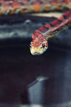 Free high resolution photography for your personal and even commercial projects Corn Snake, Snakes, Reptiles, Pine, My Photos, Board, Photography, Beauty, Pine Tree