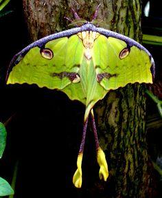 Luna Moth   by khasan
