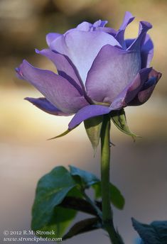 Royal Amethyst hybrid rose