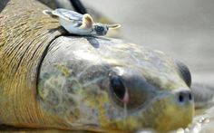 Baby turtle catching a ride
