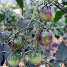 Blue Tomato Kaleidoscopic Jewel ブルー・トマト・カレイドスコピック・ジュエル
