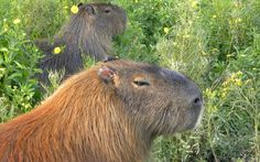 Capybaras at the Natural Flora and Fauna Reserve in Uruguay by Telegraph reader Jeanine Beare