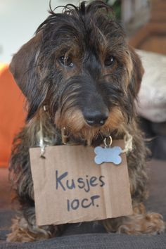 Dachshund Karel (with sign: kisses 10ct.) at Queensday in the Netherlands. Photo by Leila Jens.