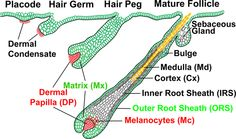 Integumentary System Facts | Integumentary+system+hair