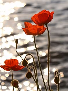 Oriental poppies (Papaver orientale) in the sunset on Lake Geneva in Montreux. photo: Eric Hill.