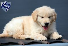 Lennox – Golden Retriever Puppies for Sale in PA | Keystone Puppies