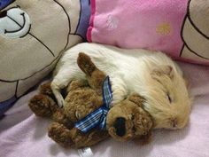 As if guinea pigs weren't cute enough on their own: Sleeping guinea pig holding it's teddy bear