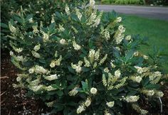 Clethra alnifolia 'Hummingbird' Summer Sweet, Sweet Pepperbush  Reminder:  two of these in the front yard already!
