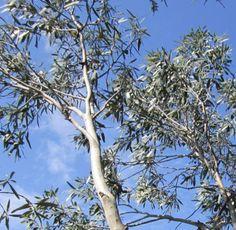 20-Samen-winterharter-Schnee-Eukalyptus-Eucalyptus-pauciflora-niphophila