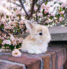 Baby English Angora bunny