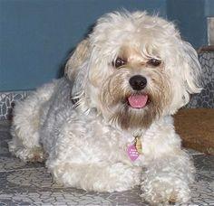 Yorkiepoo (Yorkshire Terrier/Poodle cross)