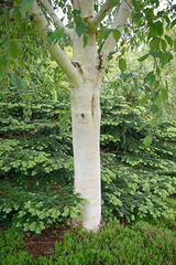 547089 - Himalayan birch (Betula utilis 'Grayswood Ghost')