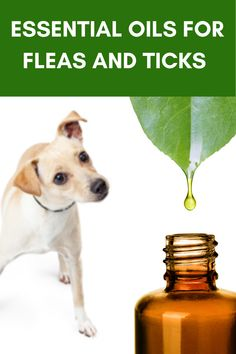Using essential oils for fleas on dogs is an effective solution to repel fleas and soothe irritations. but what type of essential oils you should use ? Cedarwood Essential Oil Uses, Essential Oils For Fleas, Cedar Essential Oil, Citronella Essential Oil, Essential Oil Spray, Kill Fleas On Dogs, Easential Oils, Cedar Oil, Oils For Dogs