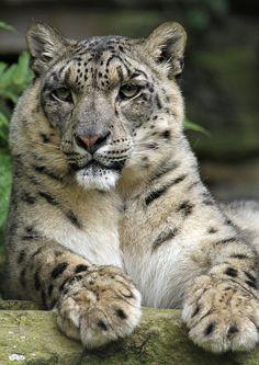 (via 500px / Handsome Snow Leopard...