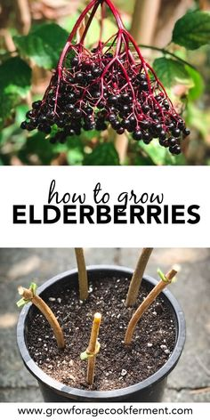 Excellent Gardening Ideas On Your Utilized Espresso Grounds Learn How To Grow Elderberries For Food And Medicine, Right In Your Own Backyard Elderberries Can Be Grown From Cuttings, Starts, Or Seeds. Gardening For Beginners, Gardening Tips, Flower Gardening, Container Gardening, Gardening Scissors, Growing Herbs In Pots, Growing Plants, Growing Vegetables, Elderberry Plant