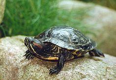 Curiosidades sobre las tortugas