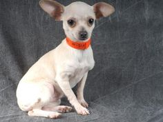 Petango.com – Meet Binky, a 7 months 13 days Chihuahua, Short Coat available for adoption in COLORADO SPRINGS, CO. Call (719) 445-6787 to speak to an adoption representative at National Mill Dog Rescue.