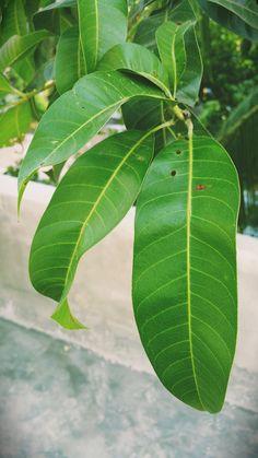 Mango, Leaves, Manga