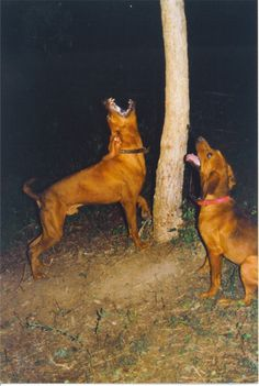 red bone coon hound- this is Exactly what Jesse does with the squirrels in our yard! Lol