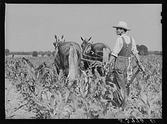 W.D. Anglin cultivating his corn with his pair of mares. Transylvania Project, Louisiana