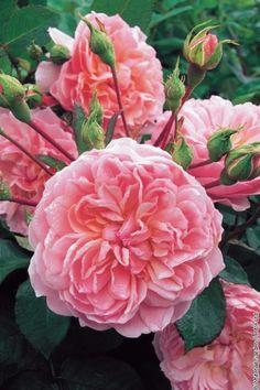 austin english, english roses, powder puff, pink roses, anne boleyn, david austin, ann boleyn, rose border, pink peonies