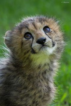 this baby is like plzzz can I haz a hambuger Nature Animals, Animals And Pets, Beautiful Cats, Animals Beautiful, Baby Cats, Cats And Kittens, Cute Baby Animals, Funny Animals, Mon Zoo