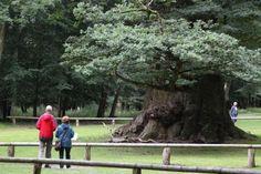 1000-jährige Ivenacker Eichen Foto: Eckhard Kruse / NK #meckpomm #natur #naturdenkmal #denkmal #baum #eiche #ivenack