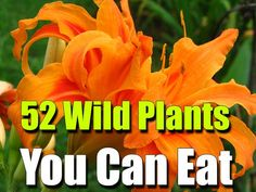 52 Wild Plants You Can Eat - SHTF, Emergency Preparedness, Survival Prepping, Homesteading ~Jolly Ollie 😊