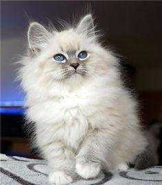 Romantic Melody's ~ Neva Masquarade ~ Sibirische Katze, Toulouse, Romantic M. - Romantic Melody's ~ Neva Masquarade ~ Sibirische Katze, Toulouse, Romantic M. Birman Kittens For Sale, Cute Kittens For Sale, Cute Fluffy Kittens, Kitten For Sale, White Kittens, Fluffy Cat, Kittens Cutest, Tabby Kittens, Birman Cat
