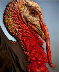 Wild-turkey-close-up-28711