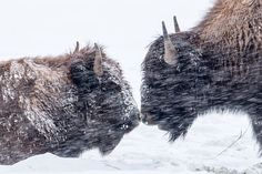 Snowy Bison Kiss Photo by Michael McCook — National Geographic Your Shot