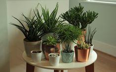 Growing succulents indoors
