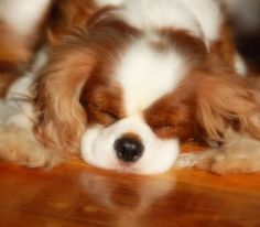 Sleeping Blenheim Cavalier