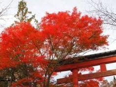 東京都八王子市にある高尾山の紅葉の時期は燃えるような鮮やかなもみじが山頂から谷いっぱいに広がり1ヶ月に渡り紅葉が楽しめるので毎年観光客が絶えません  高尾山駅までのケーブルカー沿いにはオオモミジやイロハモミジなどが群生しており最盛期には赤や黄色のトンネルができますよ  tags[東京都]