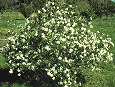 picture of viburnum conoy shrub