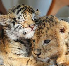 Un bébé tigre et un lionceau deviennent les meilleurs amis du monde... Avec…