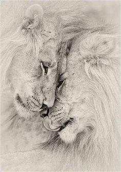 Resultado de imagem para lions in love