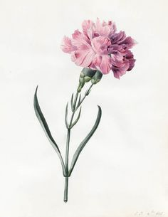 Princess Louise D'Orleans, Carnation / Nelke, water-colour