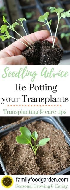 Organic Gardening Ideas Tips for Re-Potting Your Seedlings ~Family Food Garden - Growing healthy seedlings takes some practice! To avoid getting root bound, repotting seedlings is needed for space to grow. Tips for your seedlings Organic Vegetables, Growing Vegetables, Growing Plants, Growing Seedlings, Growing Tomatoes, When To Transplant Seedlings, Permaculture, Organic Insecticide, Pot Jardin