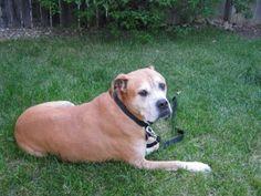 American Bulldog Fights On Following Foxtail Fiasco