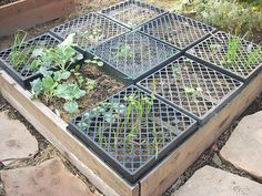 Brilliant idea ~ nursery trays keep out birds and digging mammals until seedlings are strong enough to fend for themselves