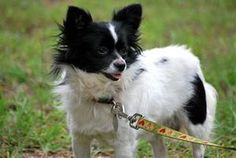 Penelope is an adoptable Papillon Dog in Pawleys Island, SC. This sweet little one is a pappillon/long haired chi mix. She is 2 years old and a doll baby! She is ready for her fur-ever home! All 4 Paw...