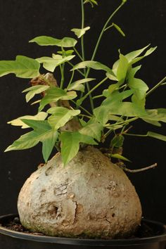 Adenia heterophylla