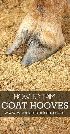 How to Trim Goat Hooves #farm #animals #goatcare
