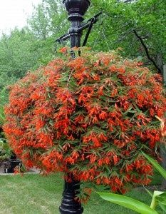 Begonia 'Bonfire' for hanging baskets for the porches! What a great plant!! I have kept mine for 3 years just in a plastic garbage bag in the basement, it comes roaring back.