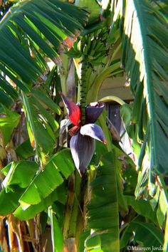 Shades of Green ⋆ Banana flower Musa Banana, Banana Fruit, Banana Plants, Green Banana, Banana Leaves, Fruit Trees, Trees To Plant, Bananas, Tropical Art