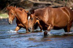 Salt River wild horses - near Phoenix, AZ