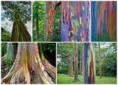 Eucalipto arcoíris. El árbol mas colorido del mundo